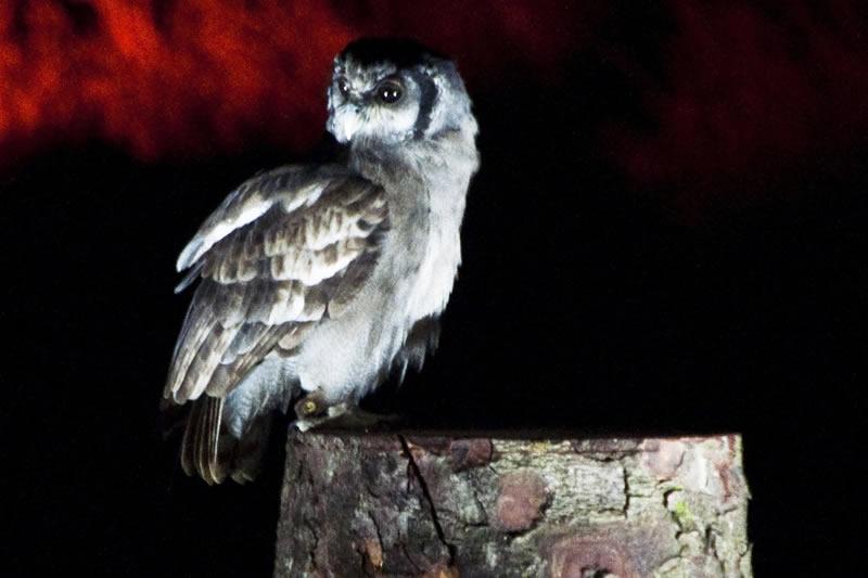 Owls by Moonlight December 2019