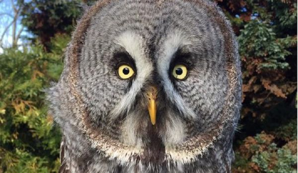 Ash Great Grey Owl