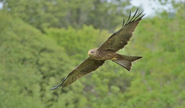 Bandele Yellow Billed-Kite