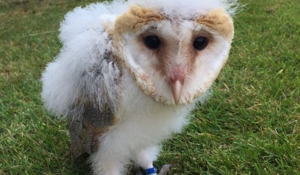 Fox the Barn Owl