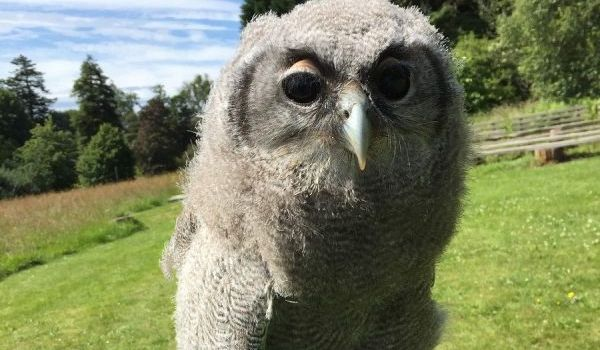 Gaston the Verreaux Eagle Owl