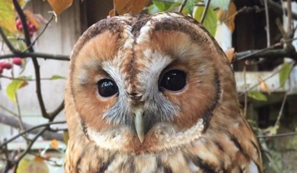 Griffin the Tawny Owl