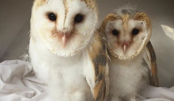 Hare the Barn Owl