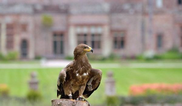 Herriot the Steppe Eagle