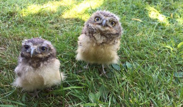 Mole the Burrowing Owl