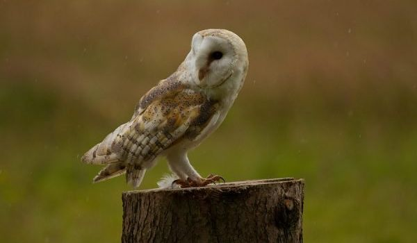 Mulberry the Barn Owl