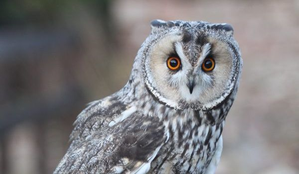 Pixie the Long-eared Owl