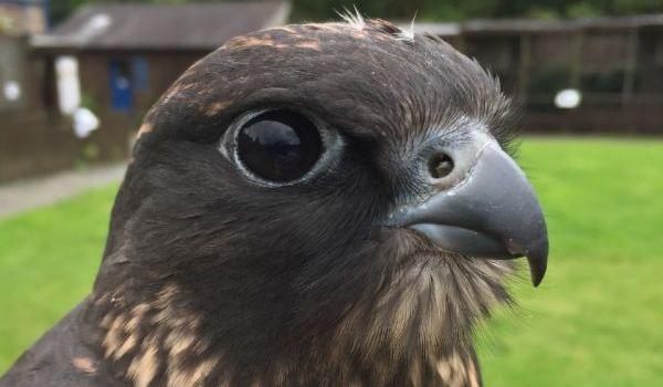 Reaper the Saker Falcon
