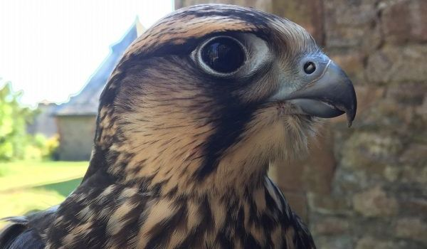 Shrew the Lanner Falcon