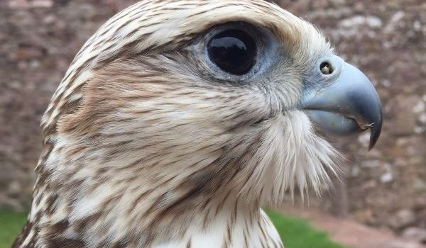 Swift the Saker Falcon