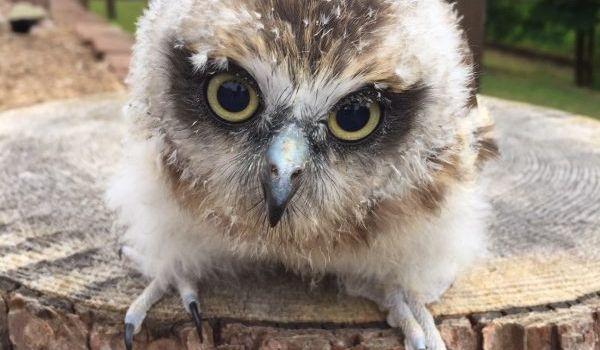Weasel the Boobook Owl