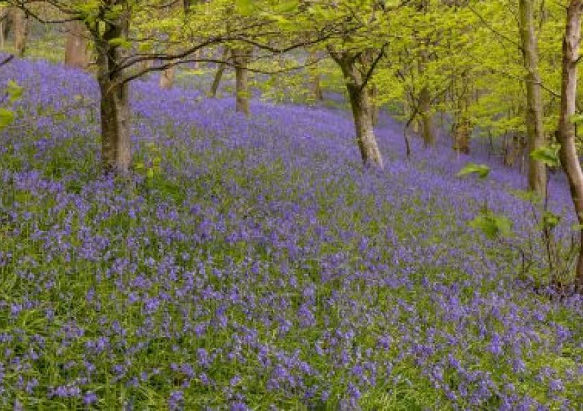 bluebell-woods-1-may16-ME-1200x-400x267