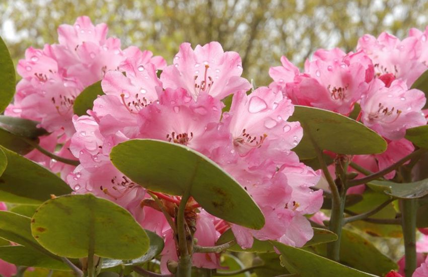 pink-rhododendron-flowers