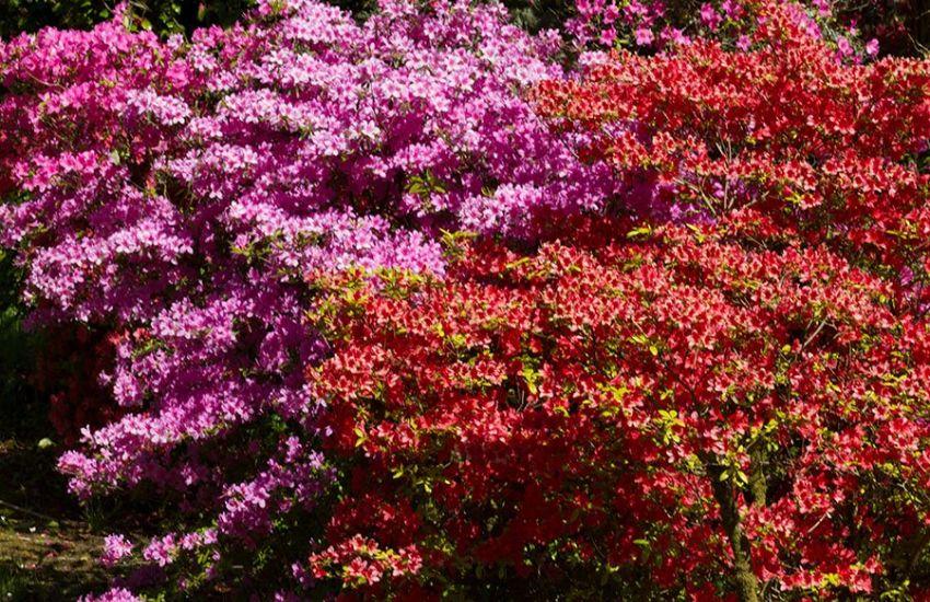 sino-himalayan-azalea-garden
